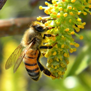 "Honey Bee on Willow Catkin"", Image by Bob Peterson"